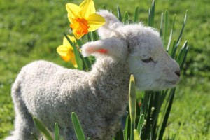 Everyone loves a lamb - and lambs love daffodils...