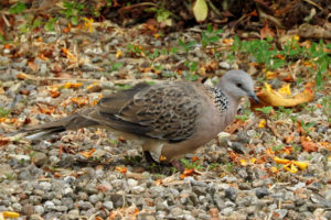 Spotted Dove  Photo: David Riddell