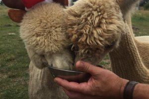 Cornerstone alpacas
